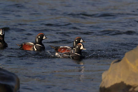 Harlequin Duck (Histrionicus histrionicus) Iceland 免版税图像