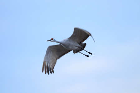 Sandhill Crane Bosque del Apache Wildlife Reserve New Mexico USA