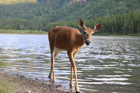 white-tailed deer at a alpine lake, Glacier National Park, Montana