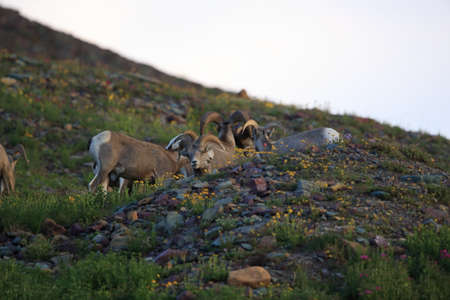 Bighorn Sheep Glacier National Park Montana USA Banque d'images