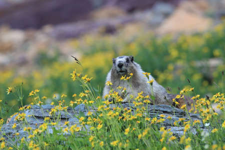 Hoary Marmot Marmota Caligata Logan Pass Glacier Nationalpark Montana USA