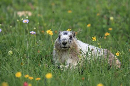 Hoary Marmot Marmota Caligata Logan Pass Glacier Nationalpark Montana USA Stock Photo