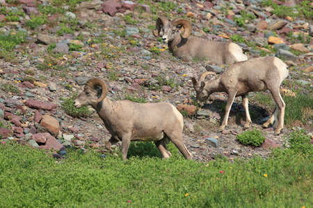 Bighorn Sheep Glacier National Park Montana USA Reklamní fotografie