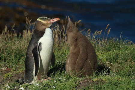 yellow-eyed penguin new zealand