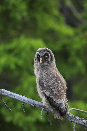 Great grey owl or great gray owl (Strix nebulosa) Cub,Sweden Foto de archivo