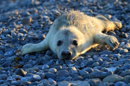 Gray Seal (Halichoerus grypus) Pup  Helgoland Germany Stock Photo
