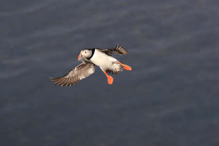 puffin flying (fratercula arctica) Stock Photo