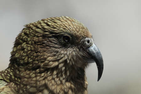Kea alpine parrot Bird  New Zealand