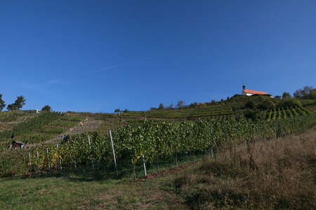 Vineyards, grapevines at the St. Remigius Chapel, Wurmlinger Kapelle, Baden Württemberg, Germany
