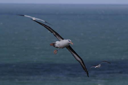 Black-browed Albatros ( Thalassarche melanophris ) or Mollymawk Helgoland Island Germany