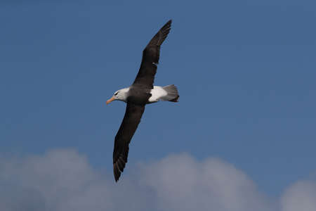 Black-browed Albatros ( Thalassarche melanophris ) or Mollymawk Helgoland Island Germany
