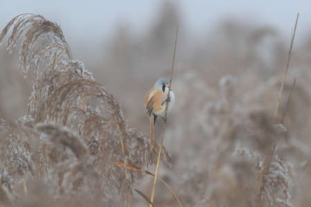 Bearded Reedling or Bearded Tit (Panurus biarmicus) Germany Stock Photo