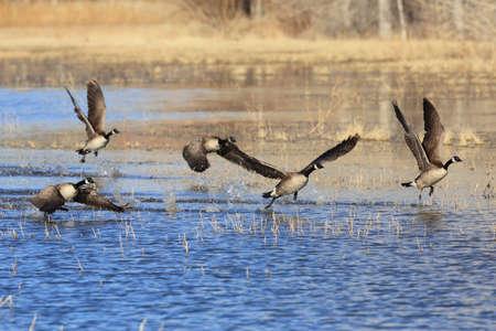 Canada goose (Branta canadensis)  New Mexico