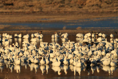 Snow geese Bosque del Apache, New Mexico USA 版權商用圖片 - 112678914