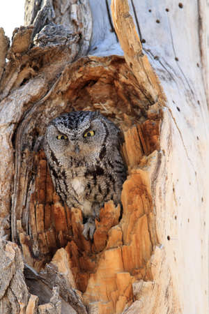 Western Screech-owl, (Megascops kennicottii) on the Tree New Mexico
