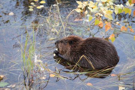 North American Beaver (Castor canadensis) eating,  Alaska 写真素材