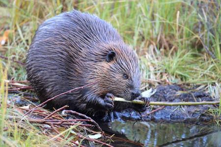 North American Beaver (Castor canadensis) eating,  Alaska Фото со стока