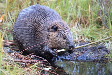 North American Beaver (Castor canadensis) eating,  Alaska Banque d'images
