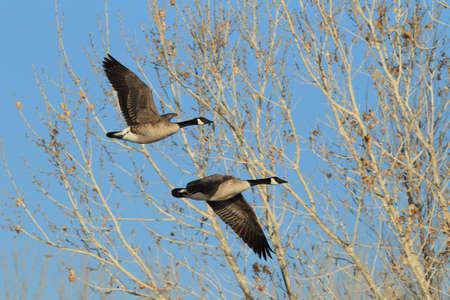 Flying goose (Branta canadensis)  New Mexico Stock Photo