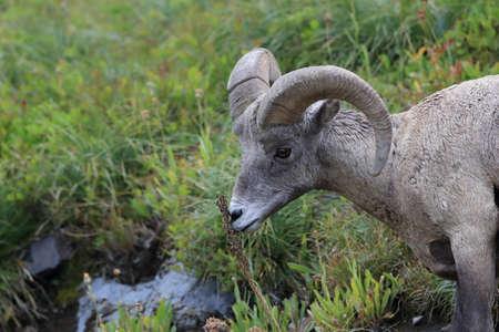 Bighorn Sheep Glacier National Park Montana USA Banco de Imagens