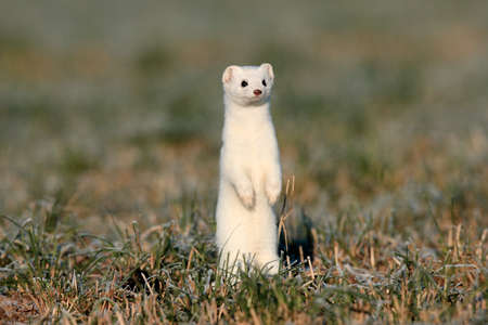 stoat (Mustela erminea),short-tailed weasel Germany 스톡 콘텐츠