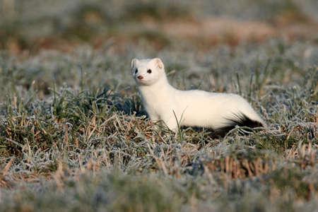 stoat (Mustela erminea),short-tailed weasel Germany 免版税图像