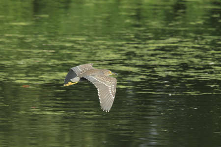 black-crowned night heron (Nycticorax nycticorax)  BADEN WÃœRTTEMBERG Germany 免版税图像