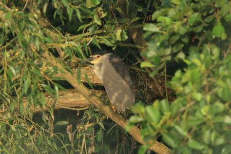 black-crowned night heron (Nycticorax nycticorax)  BADEN WÃœRTTEMBERG Germany