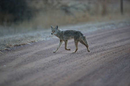 Coyote(s) in Bosque del Apache national wildlife refuge in New Mexico,USA 版權商用圖片 - 117631483