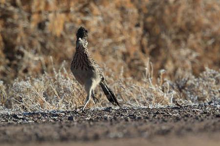 Roadrunner Bosque del Apache wildlife refuge in New Mexico,USA