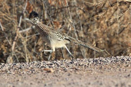 Roadrunner Bosque del Apache wildlife refuge in New Mexico,USA Stock Photo