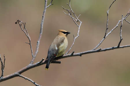 Cedar Waxwing perched on branch,USA
