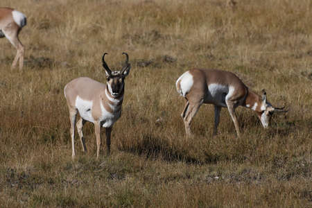 Pronghorn, Wyoming, Yellowstone National Park 版權商用圖片
