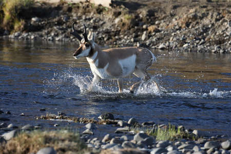 Pronghorn, Wyoming, Yellowstone National Park Stock Photo
