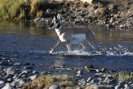 Pronghorn, Wyoming, Yellowstone National Park Reklamní fotografie