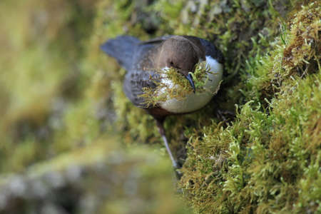 white-throated dipper germany
