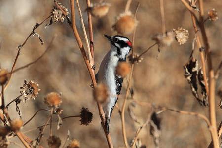 Downy woodpecker Bosque del Apache Wildlife Reserve New Mexico USA