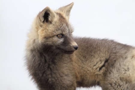 Silver Fox (Vulpes vulpes) - Silver phase of Red Fox Cubs, Washington WA , USA