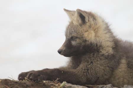 Silver Fox (Vulpes vulpes) - Silver phase of Red Fox Cubs, Washington WA , USA