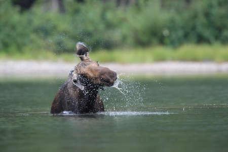 Moose Feeding in Pond in Glacier National Park in Montana USA
