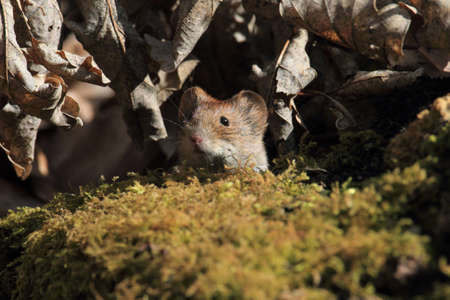 bank vole (Myodes glareolus; formerly Clethrionomys glareolus) Germany