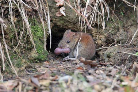 bank vole (Myodes glareolus; formerly Clethrionomys glareolus) carries its youngs  Germany