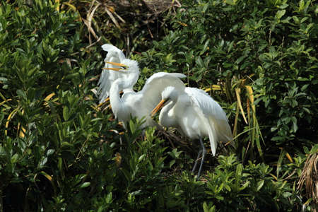 Egret colony at Whataroa New Zealand