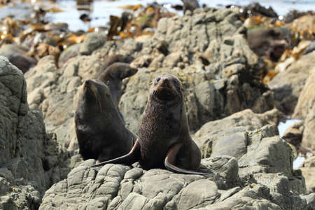 New Zealand sea lion (Phocarctos hookeri) New Zealand