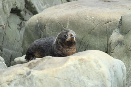 New Zealand sea lion (Phocarctos hookeri) Cub New Zealand
