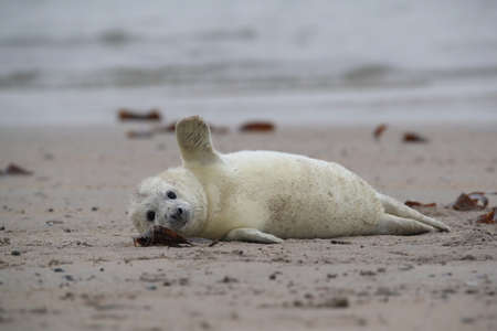 Gray Seal (Halichoerus grypus) Pup  Helgoland Germany Stock Photo