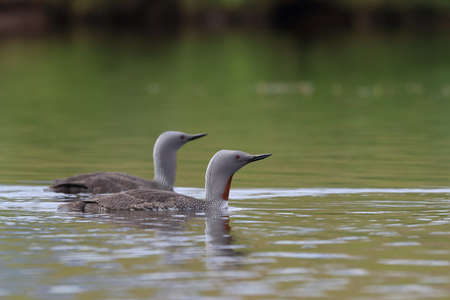red-throated loon (North America) or red-throated diver (Britain and Ireland)