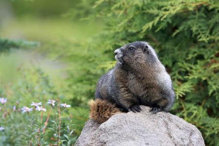 Hoary Marmot  at Mount Rainier National Park Washington