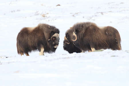 Wild Musk Ox in winter, mountains in Norway, Dovrefjell national park Фото со стока