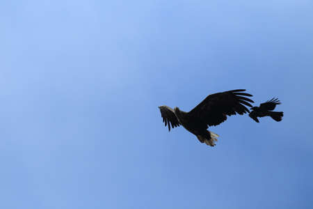 White-tailed sea Eagle (Haliaeetus albicilla) Norway